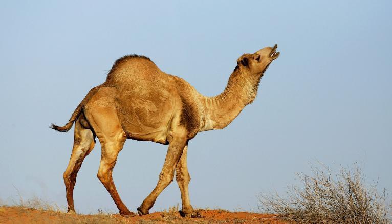 Pray for Australia camel