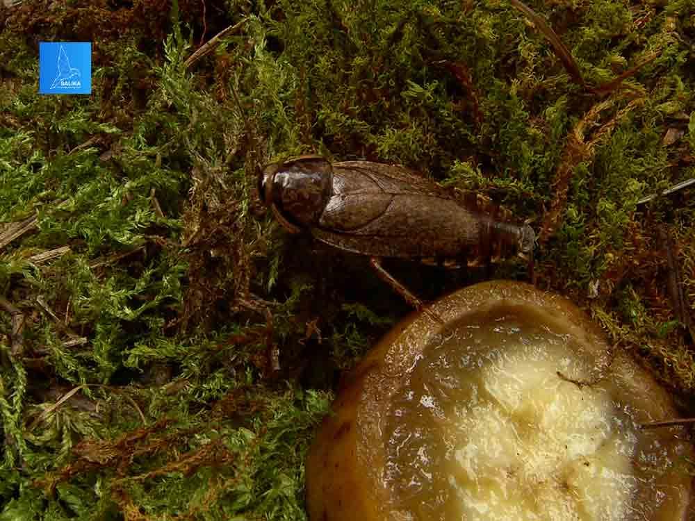 แมลงสาบสายพันธุ์พิเศษที่มีชื่อว่า Nauphoeta cinerea